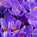 Purple Crocus by Elena Elisseeva