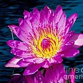 Purple Lily On The Water by Nick Zelinsky