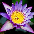 Purple Lotus  by Raimond Klavins