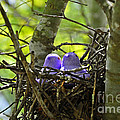 Purple Peeps Pair Print by Al Powell Photography USA