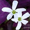 Purple Queen Flowers by Sabrina L Ryan