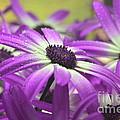 Purple Senetti Iv by Cate Schafer