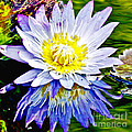 Purple Water Lily in...