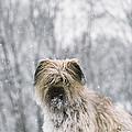 Pyrenean Shepherd Dog by Jean-Paul Ferrero