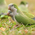 Quaker Parrot #4 by David Cutts