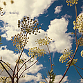 Queen Anne Lace And Sky I by Jenny Rainbow