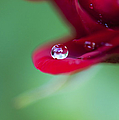 Raindrops And Roses by Tim Gainey