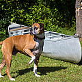 Ranger The Boxer by Stephanie McDowell