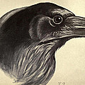 Raven Print by Philip Ralley