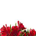 Red Alstroemeria by Anne Gilbert