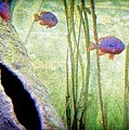 Red Eared Bluegills by Rosemarie E Seppala