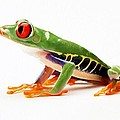 Red-eye Tree Frog 4 by Lanjee Chee