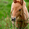 Red Foal. Beautiful Eyes