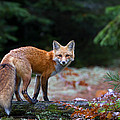 Red Fox - Algonquin ...