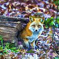 Red Fox At Home by John Haldane