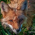 Red Fox by Bianca Nadeau