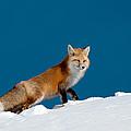Red Fox by Gary Beeler