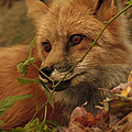 Red Fox In Autumn Leaves Stalking Prey by Inspired Nature Photography Fine Art Photography