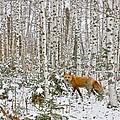Red Fox In Birches by Jack Zievis