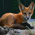 Red Fox by Kristin Elmquist