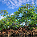 Red Mangrove East Coast Brazil by Pete Oxford