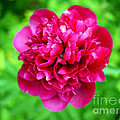 Red Peony Flower Print by Edward Fielding