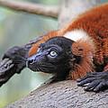 Red-ruffed Lemur by Karol Livote