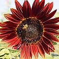Red Sunflower And Bee by Kerri Mortenson