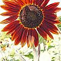 Red Sunflower Glow by Kerri Mortenson