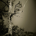 Red Tail Hawk On Loo...