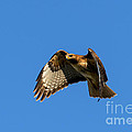 Red-tail Hover by Mike  Dawson