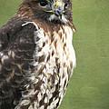 Red-tailed Hawk III