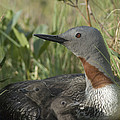 Red-throated Loon With Day Old Chicks by Michael Quinton