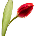 Red Tulip by Dave Bowman