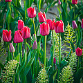 Red Tulips In Skagit Valley by Inge Johnsson