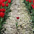 Red Tulips by Jim Corwin