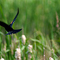 Red Winged Blackbird by Andrew Lahay