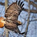 Redtail Hawk by Bill Wakeley