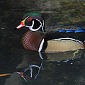 Reflective Wood Duck by Deborah Benoit