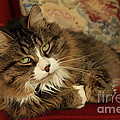 Rescue Cat Living In The Lap Of Luxury by Inspired Nature Photography Fine Art Photography