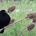 Resting Red-winged Blackbird  by Lizbeth Bostrom