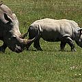 Rhinoceros by Aidan Moran