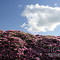 Rhododendron by Melissa Petrey