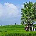 Rice Fields by Nila Newsom