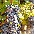 Ripe Grapes by Artist and Photographer Laura Wrede