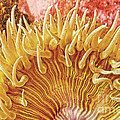Rise And Shine Sea Anemone- Pictures Of Sea Creatures - Sea Anenome  by Artist and Photographer Laura Wrede