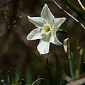 Roadside White Narcissus by Rebecca Sherman