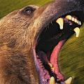 Roaring Grizzly Bears Face Rocky by Thomas Kitchin & Victoria Hurst