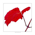 Roger's Red Grape Leaf by Saxon Holt
