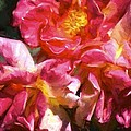Rose 115 by Pamela Cooper